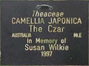 Camellia japonica 'The Czar'