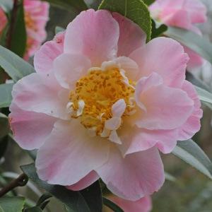 Camellia x williamsii 'Tiptoe'