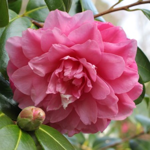 Camellia williamsii 'Water Lily'