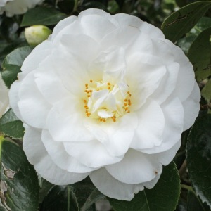 Camellia japonica 'White Giant'