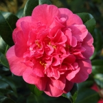 Camellia x williamsii 'Wilber Foss'