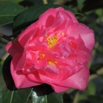 Camellia x williamsii 'Wynne Rayner'