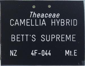 Camellia hybrid 'Bett's Supreme'