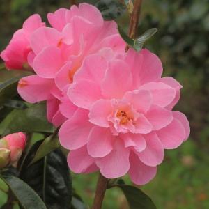 Camellia reticulata 'Mystique'