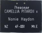 Camellia hybrid 'Nonie Haydon'