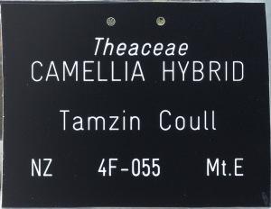 Camellia hybrid 'Tamzin Coull'