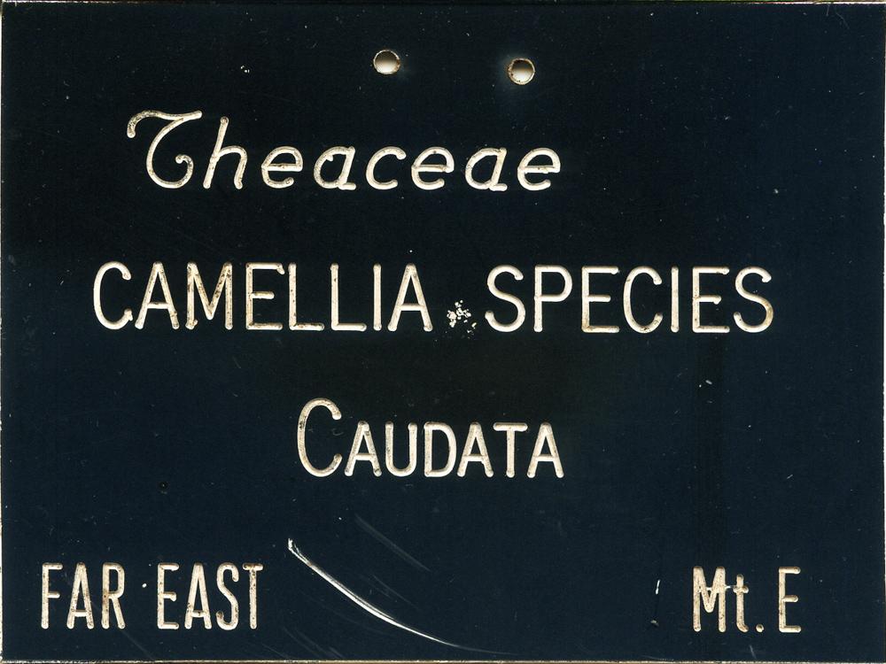 Camellia caudata
