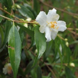 Camellia cuspidata