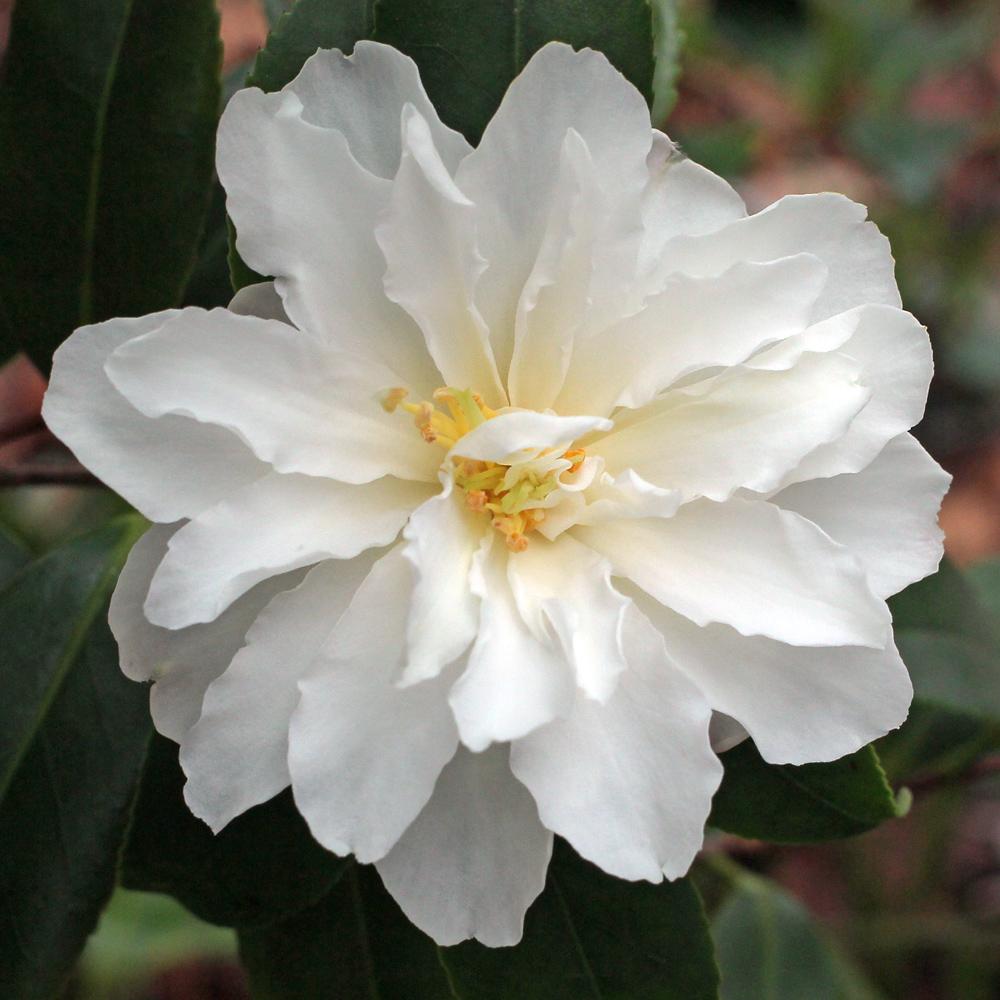 Camellia x vernalis 'Ginryû' (10-005)