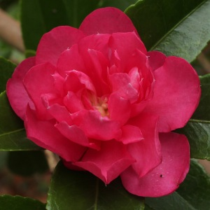 Camellia hiemalis 'Dazzler'
