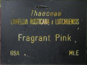 Camellia 'Fragrant Pink'
