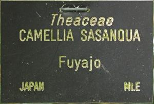 Camellia 'Fuyajo'
