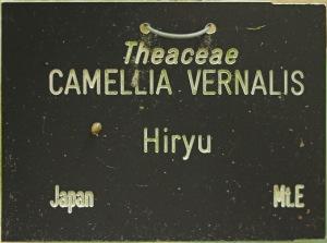 Camellia x vernalis 'Hiryû'