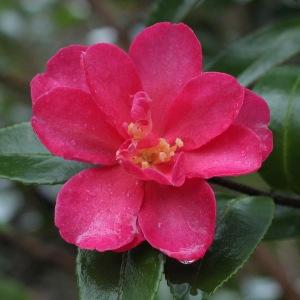 Camellia hiemalis 'Kanjiro'