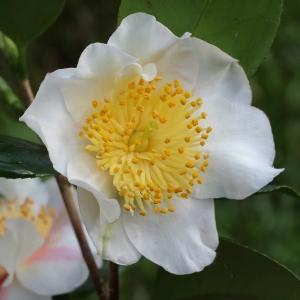 Camellia japonica 'Kyô-nishiki' (Higo)