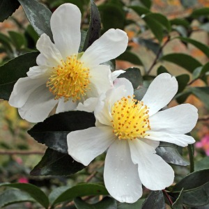 Camellia sasanqua 'Narumigata'