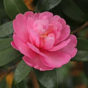 Camellia sasanqua 'Paradise Hilda'