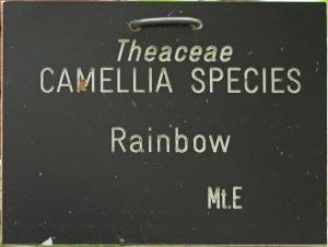 Camellia sasanqua 'Rainbow'