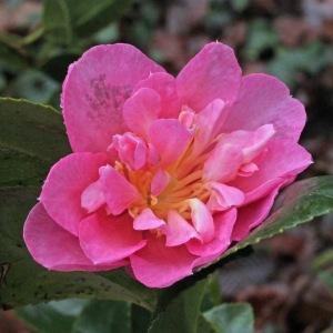 Camellia hiemalis 'Sparkling Burgundy'