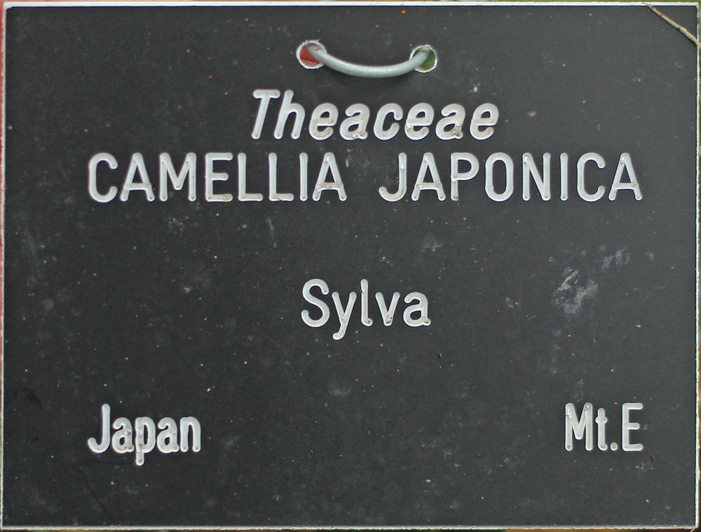 Camellia japonica 'Sylva'