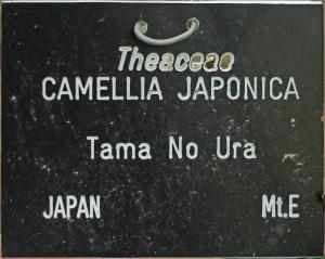 Camellia japonica 'Tama-no-ura'