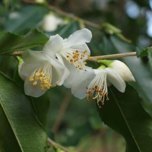 Camellia tsaii