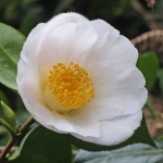 Camellia x williamsii 'Apple Blossom'