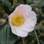 Camellia x williamsii 'Burncoose Apple Blossom'