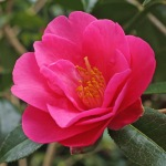 Camellia x williamsii 'Duchess of York'