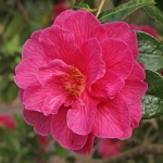 Camellia x williamsii 'Fiona Colville'