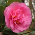 Camellia x williamsii 'Yesterday'
