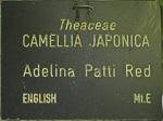 Camellia japonica 'Adelina Patti Red'