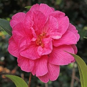 Camellia x williamsii 'Celebration'