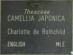 `Camellia japonica 'Charlotte de Rothschild'