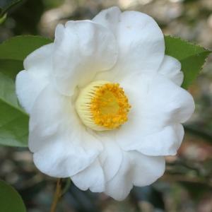 Camellia japonica 'Charlotte de Rothschild'