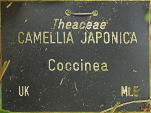 Camellia japonica 'Coccinea'
