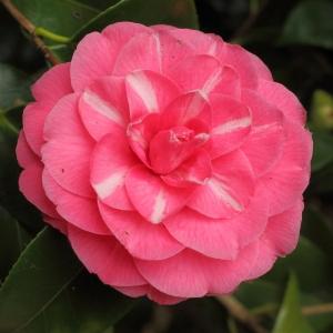 Camellia japonica 'Double Rose'