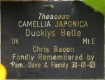 Camellia japonica 'Duckyl's Belle'