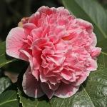 Camellia japonica 'Elizabeth Rose Open'