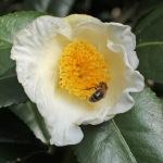 Camellia japonica Eric Baker'