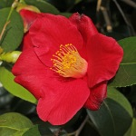 Camellia japonica 'Evelyn'