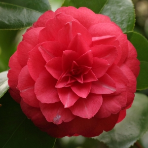 Camellia japonica 'Hime-otome Red'