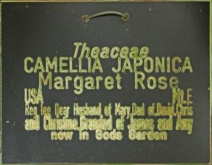 Camellia japonica 'Margaret Rose'