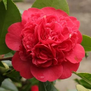 Anemone japonica 'Marinka'