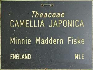 Camellia japonica 'Minnie Maddern Fiske'
