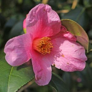 Camellia x williamsii 'Philippa Forward'