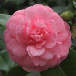 Camellia japonica 'Princess Margaret'