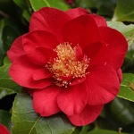 Camellia japonica 'Red Dandy'