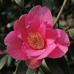 Camellia x williamsii 'Rose Court'