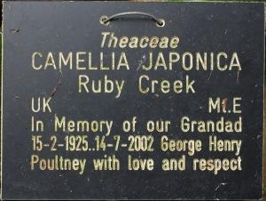 Camellia japonica 'Ruby Creek'